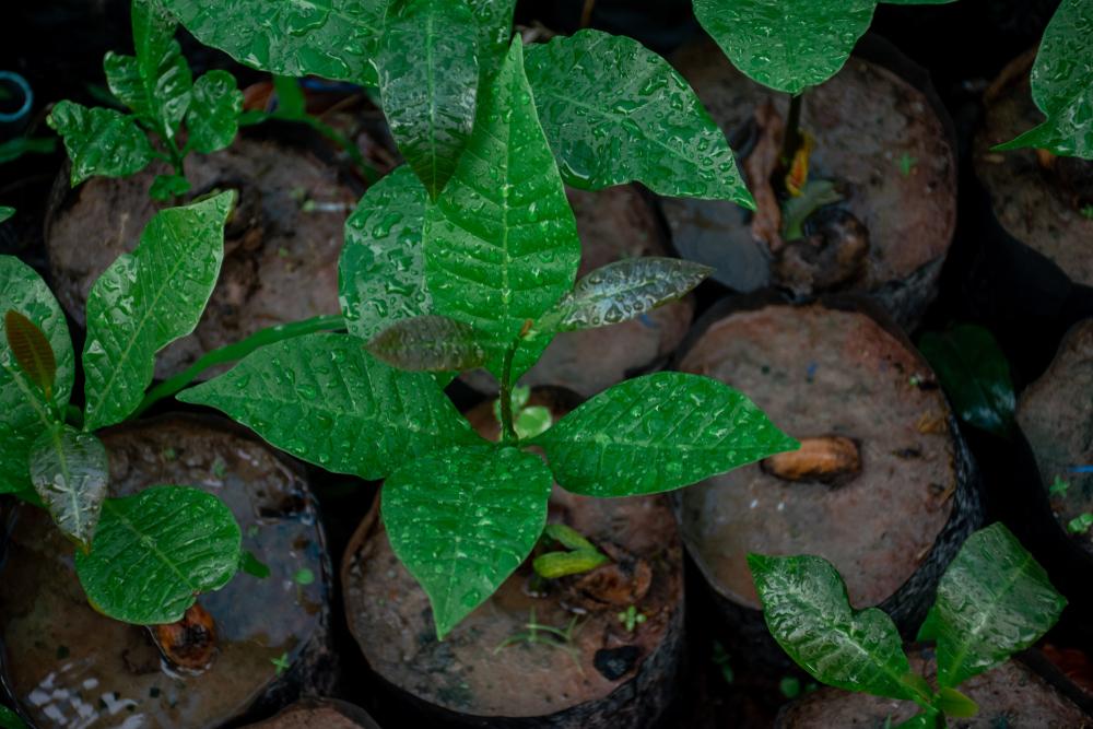 Cashew plant before transplanting