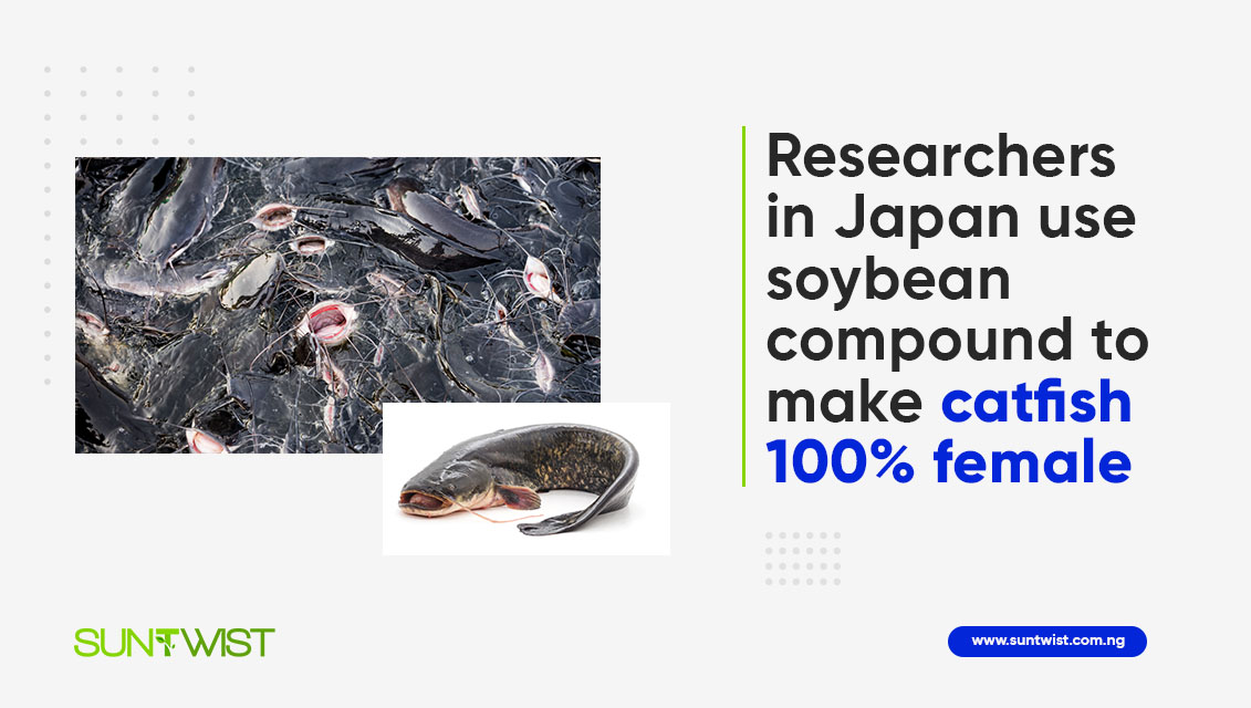 researchers-in-japan-use-soybean-compound-to-make-catfish-100-female